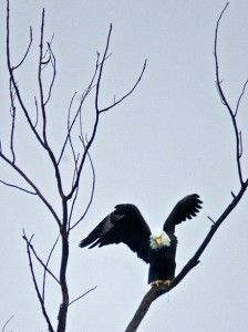 Crab Orchard offers eagle-viewing tours