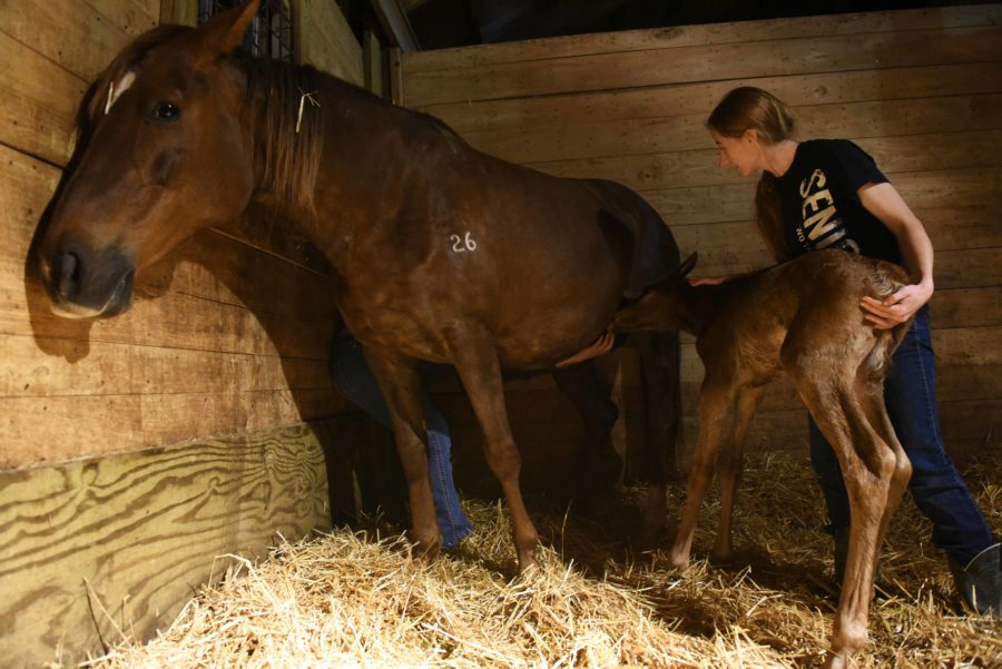 Michael+Halpin%2C+a+senior+from+Dorchester+studying+equine+science%2C+and+Sheila+Puckett%2C+an+agricultural+research+technician%2C+attempt+to+get+a+newborn+foal+to+feed+for+the+first+time+Tuesday%2C+April+11%2C+2017%2C+at+the+University+Farms%27+Equine+Center.+The+foal+was+born+to+Honey%2C+a+mare+owned+by+the+university.+The+foal+was+named+Marvel+in+reference+to+Marvel+Comics%2C+which+was+the+theme+for+foal+names+they+picked+for+the+year.+%28Bill+Lukitsch+%7C+%40lukitsbill%29+
