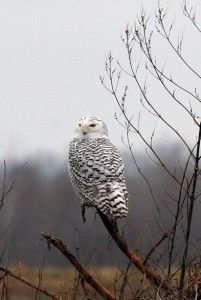 Arctic owl swoops into southern Illinois
