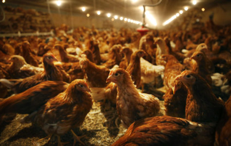 Will chicken waste endanger Carbondale's drinking water?