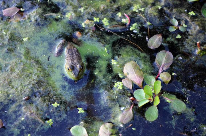 A frog surrounded by blue-green algae peeks out of the water Sept. 21 at Campus Lake. (DailyEgyptian.com file photo)