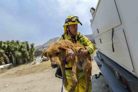 Scotte Steele, of Beverly Hills Fire, carries one of two dogs hurt by Blue Cut Fire at burned out structure on Monte Vista Road in Phelan on Thursday in Phelan, Calif. Capt. (Irfan Khan/Los Angeles Times/TNS)