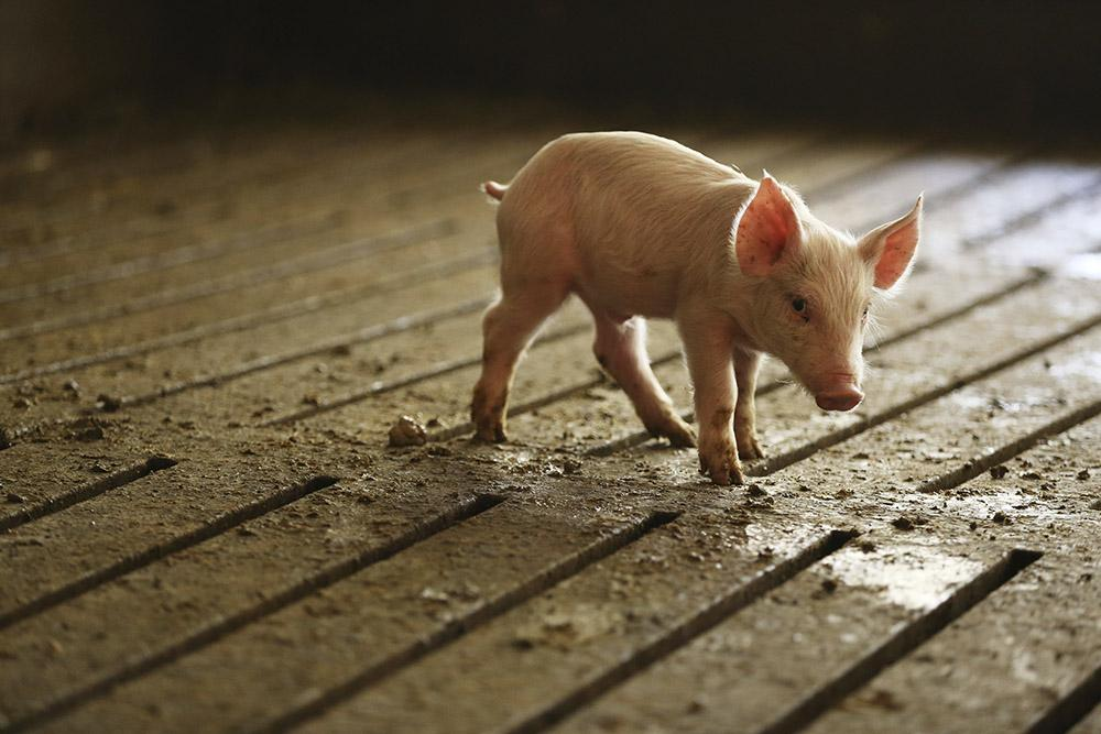 A young pig in a hog confinement operation walks across a slotted floor. The movement of pigs across their pen pushes their waste through the slots into a storage pit below. (Stacey Wescott/Chicago Tribune/TNS)