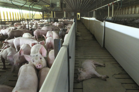 A sick pig is separated from the others at Jeff Seabaugh's hog confinement in Montgomery County. (Stacey Wescott/Chicago Tribune/TNS)