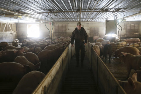 Jeff Seabaugh walks through a shed housing large pigs at his operation in Montgomery County. Seabaugh grows about 20,000 pigs each year. (Stacey Wescott/Chicago Tribune/TNS)