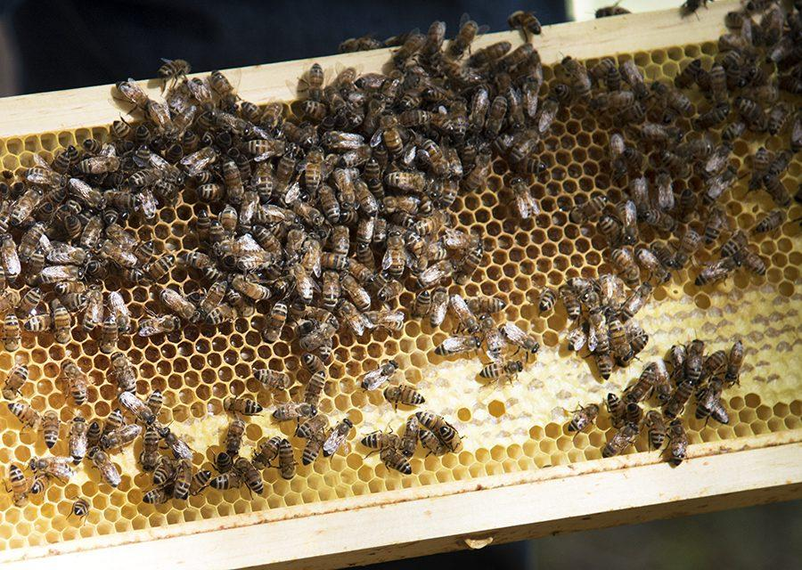 Hundreds+of+bees+are+displayed+on+one+of+the+frames+of+a+beehive+Sunday%2C+Oct.+9%2C+2016+during+the+Southern+Illinois+Treatment-Free+Beekeeping+Seminar+Series+at+Touch+of+Nature+Environmental+Center+in+Makanda.+%28Morgan+Timms+%7C+%40Morgan_Timms%29