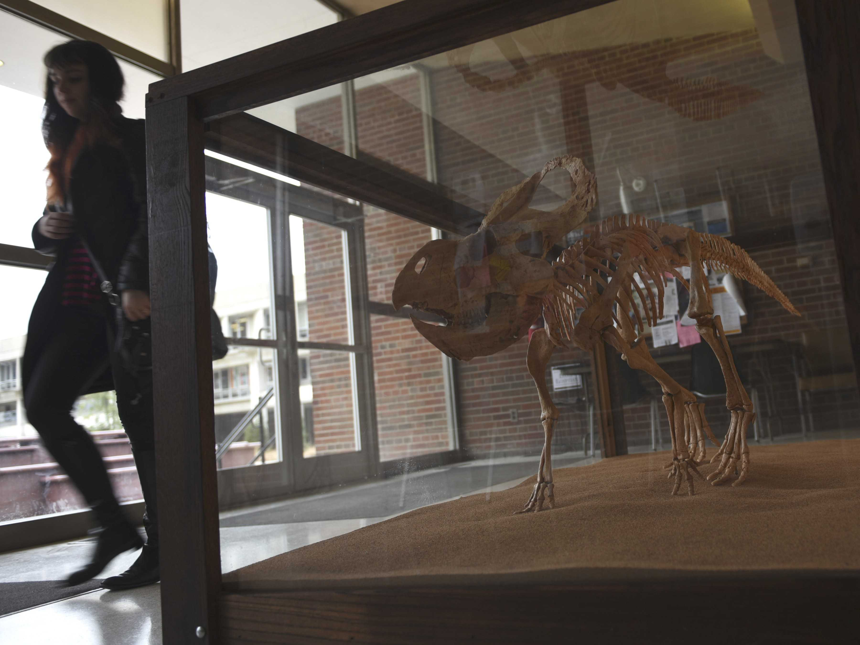 A dinosaur cast resembling 70-million-year-old fossils sits on display Friday, Jan. 20, 2017, in the main lobby of Browne Auditorium near the south entrance. (Bill Lukitsch | @lukitsbill)