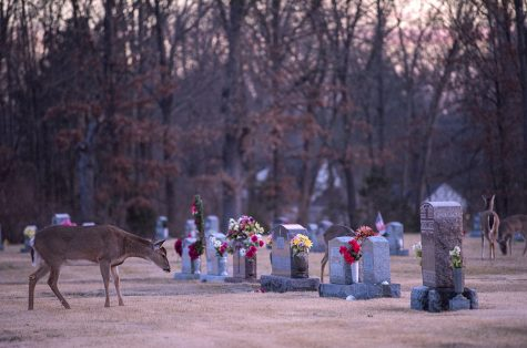 Photo of the Day: Grazing by gravestones