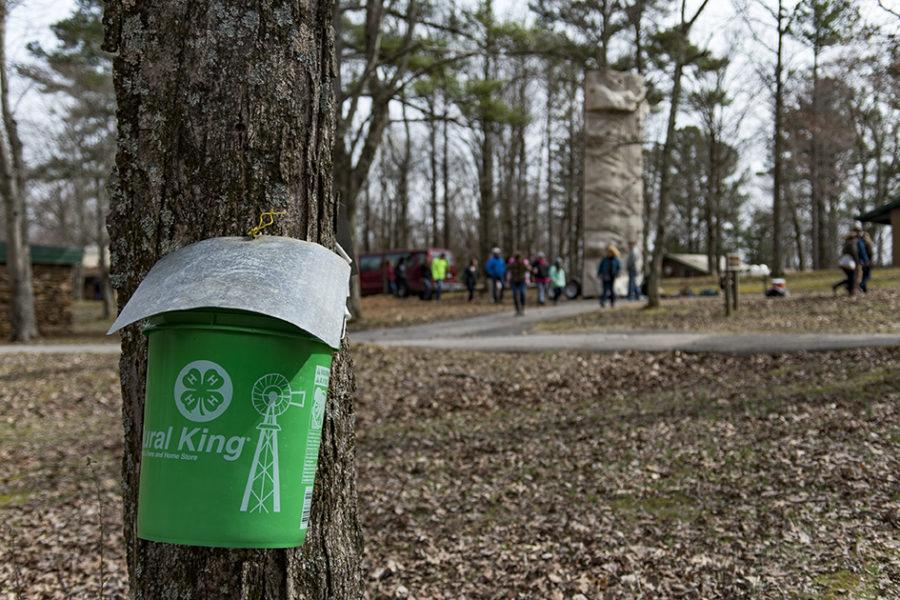 People walk past tapped trees Sunday, Feb. 26, 2017, during the annual Maple Syrup Festival and Pancake Breakfast at Touch of Nature. Each year staff at Touch tap trees and collect sap to boil into maple syrup. (Branda MItchell | @branda_mitchell)