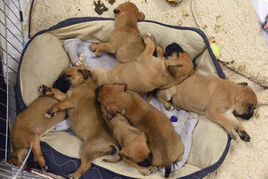 Puppies sleep in a caged area inside a surgery room on Tuesday, Feb. 14, 2017, at St. Francis CARE Animal Shelter in Murphysboro. Kay Crease, the animal shelter's veterinarian, said the puppies have all since been adopted. (Bill Lukitsch | @lukitsbill)