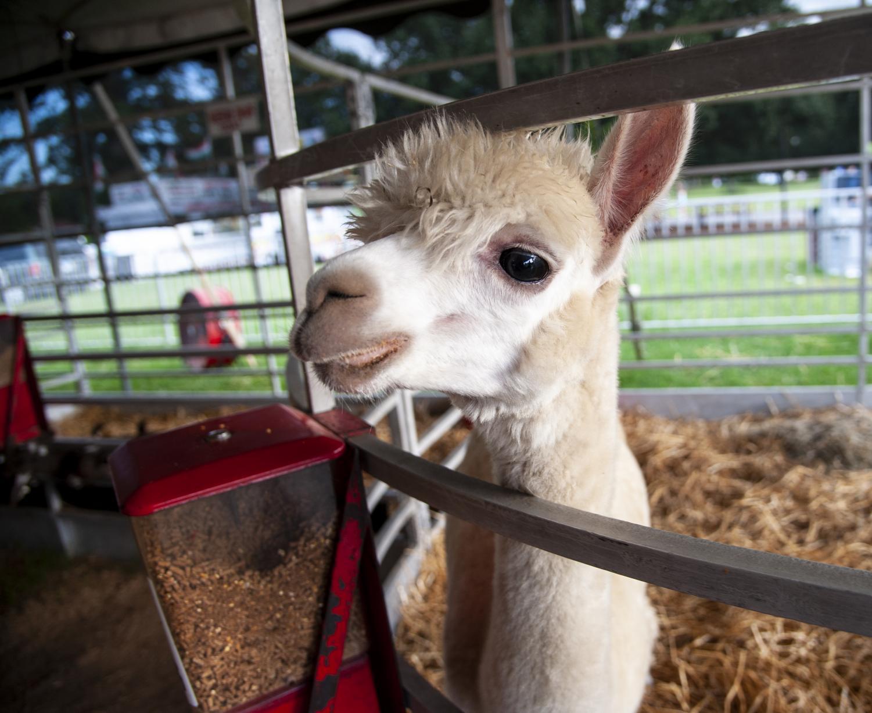 A+young+llama+pokes+its+head+through+the+pen+bars%2C+Friday%2C+Aug.+31%2C+2018%2C+inside+a+petting+zoo+at+the+Du+Quoin+State+Fair.+%28Mary+Barnhart+%7C+%40MaryBarnhartDE%29