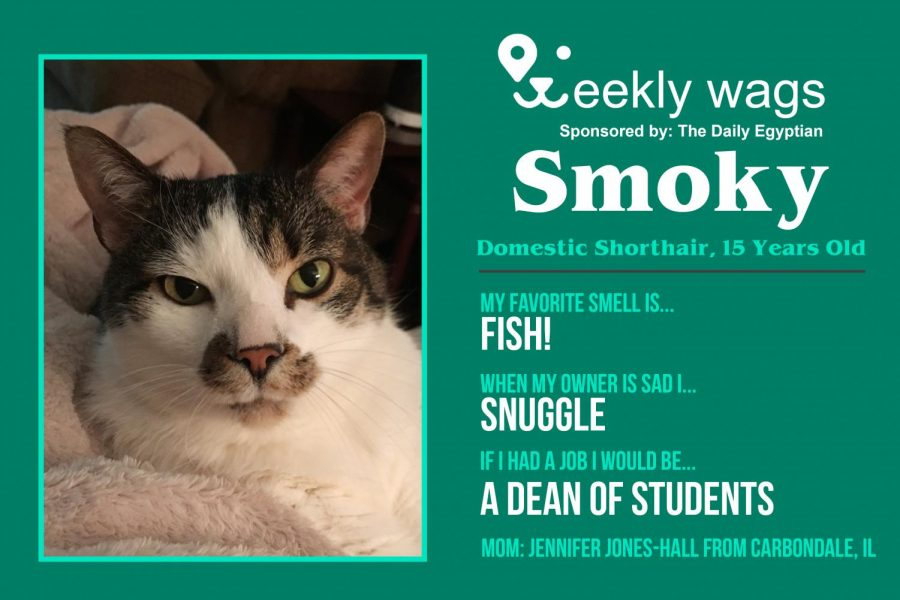 Weekly Wags: Smoky, Domestic Shorthair