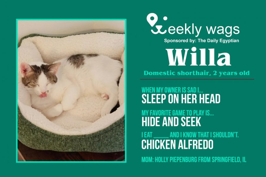 Weekly Wags: Willa, Domestic Shorthair