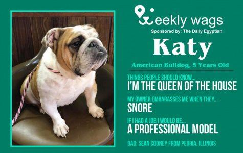 Weekly Wags: Katy, American Bulldog