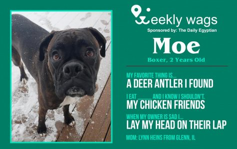 Weekly Wags: Moe, Boxer