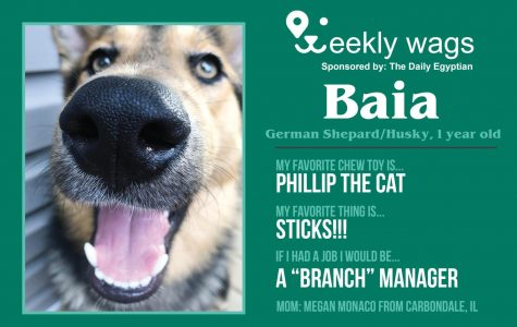 Weekly Wags: Baia, German Shepard/Husky