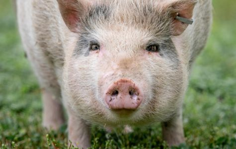 'Porkchop the Pig' captures the hearts of Herrin residents