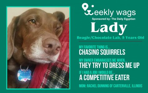 Weekly Wags: Lady, Beagle/Chocolate Lab