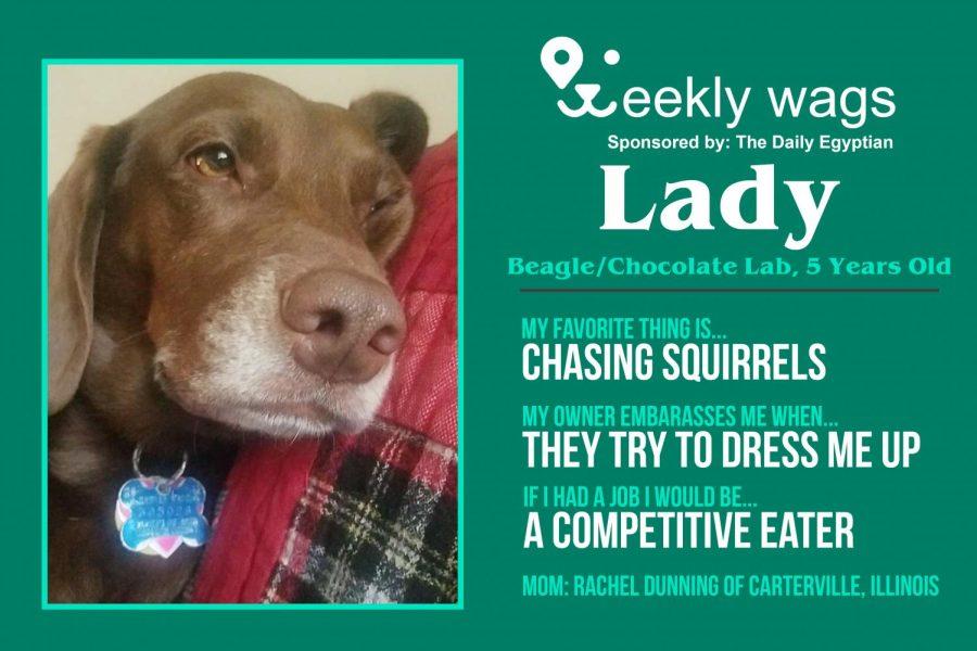 Weekly Wags: Lady, Beagle/Chocolate Lab
