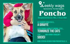 Weekly Wags: Poncho, Shepherd Boxer Mix