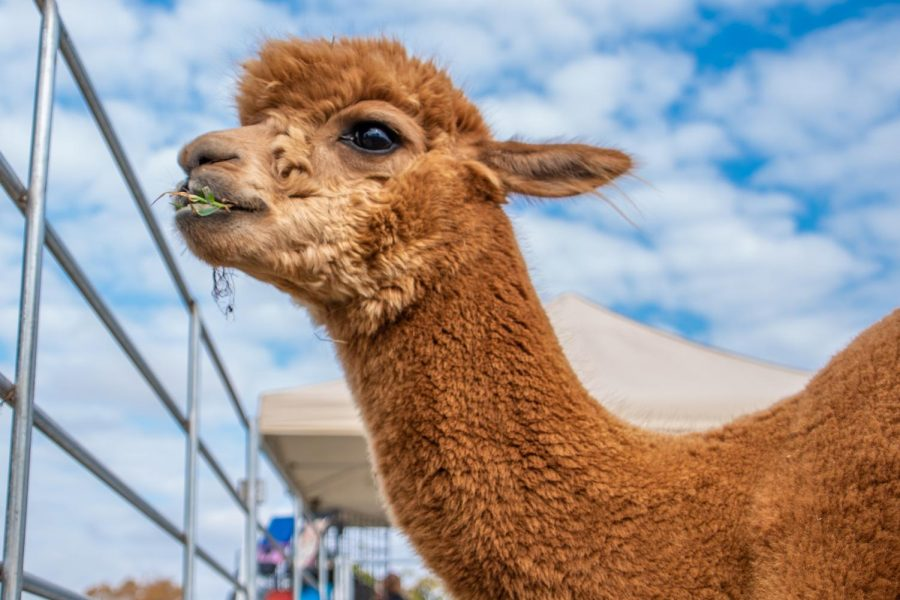 Sly the alpaca eating grass on Sunday, Oct. 20, 2019 during Alpaca and Wine at StarView Vineyards in Cobden, Illinois.