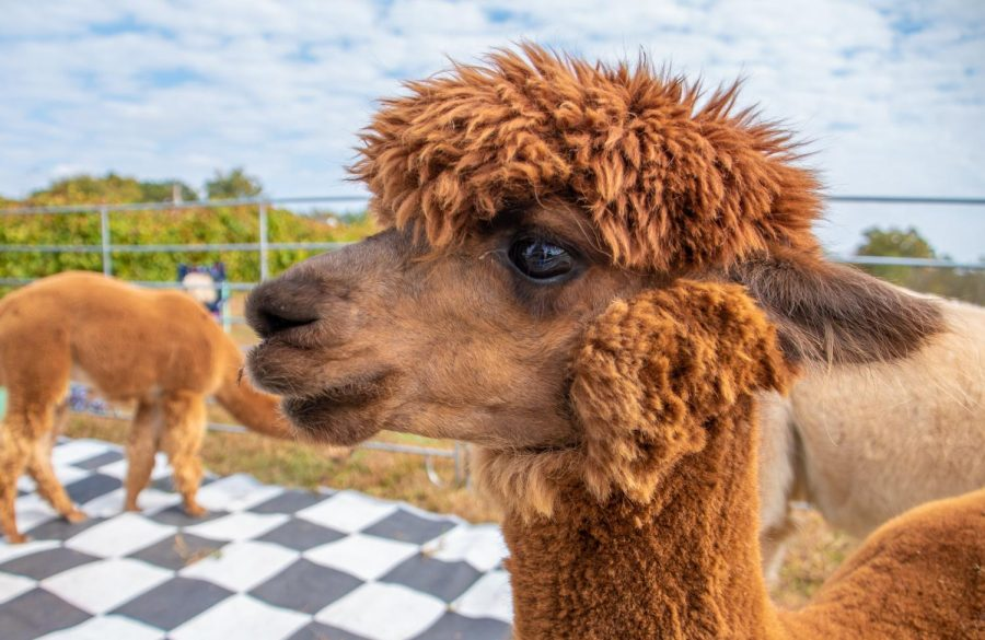 Elon the alpaca looks at attendees on Sunday, Oct. 20, 2019 during Alpaca and Wine at StarView Vineyards in Cobden, Illinois.