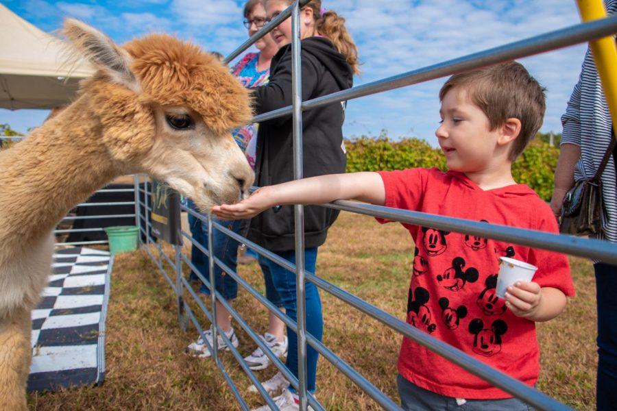 Isaac Jones from Harrisburg, Illinois feeding Maca the Alpaca on Sunday, Oct. 20, 2019 during Alpaca and Wine at StarView Vineyards in Cobden, Illinois.