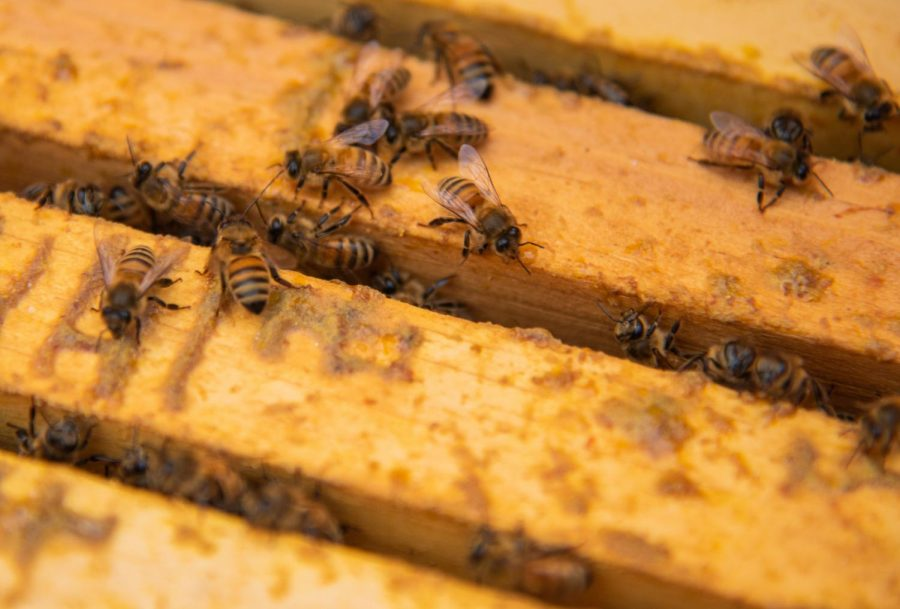 Honey bees huddle in preparation for the upcoming colder months on Friday, Oct. 11, 2017 in Waverly, Illinois