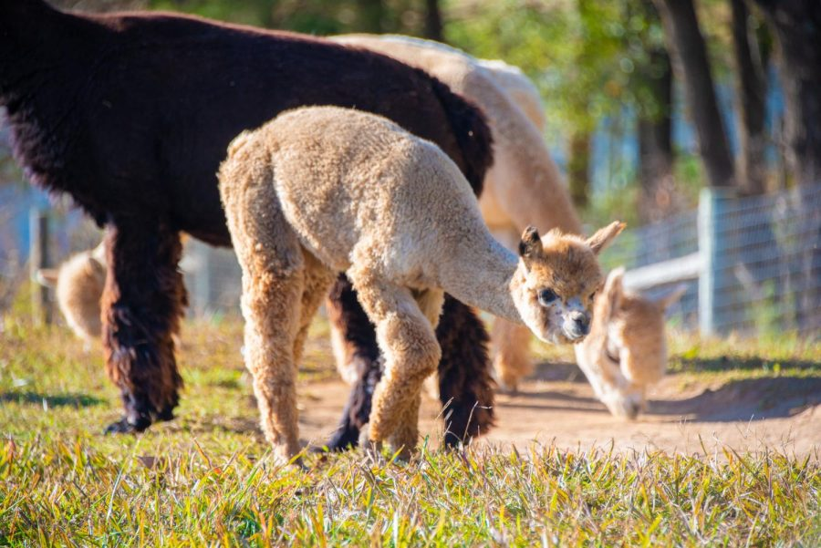 Alpacas wander the field on Oct. 24, 2019 At the Rolling Oaks Alpaca Ranch. The ranch, which is run by a mother-daughter duo, bought its first Huacaya alpaca eight years ago, Morgan Stevenson, director of the ranch, said. Now, there are 22 alpacas on the ranch.