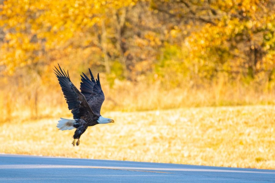 A+bald+eagle+takes+off+on+Wednesday%2C+Nov.+13%2C+2019+outside+of+Vienna%2C+Illinois.+Bald+eagles+have+been+on+the+increase+since+2007+when+the+U.S.+Fish+and+Wildlife+Service+removed+the+Bald+Eagle+from+the+federal+endangered+species+list.