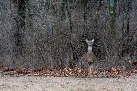 A doe stands attentively at the edge of the woods surrounding Campus Lake on Monday, February 10, 2020, on the SIU campus, Carbondale IL.