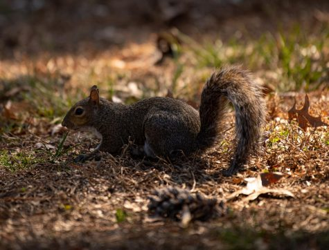 A squirrel scavenges for food near Lentz dinning hall on Saturday, Feb. 29, 2020 at SIU.