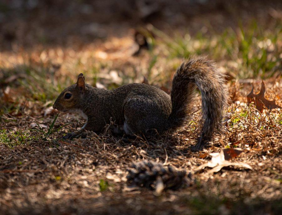 A squirrel scavenges for food near Lentz dinning hall on Saturday, Feb. 29, 2020 at SIU.