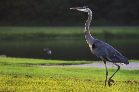 A great blue heron walking by the water at Crab Orchard Lake Marina on August 15, 2020, in Carbondale, Il.