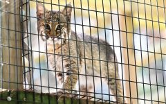 Although TreeHouse does have some permanent bobcat residents, their goal is to rescue, rehabilitate, and release. This bobcat kitten is being raised to be released back into the wild. In order to do so, the clinic takes precautions and limits the amount of human interaction that it receives to ensure that it will have its best chance in the wild. Aug. 30, 2020, TreeHouse Wildlife Center, Dow, IL.