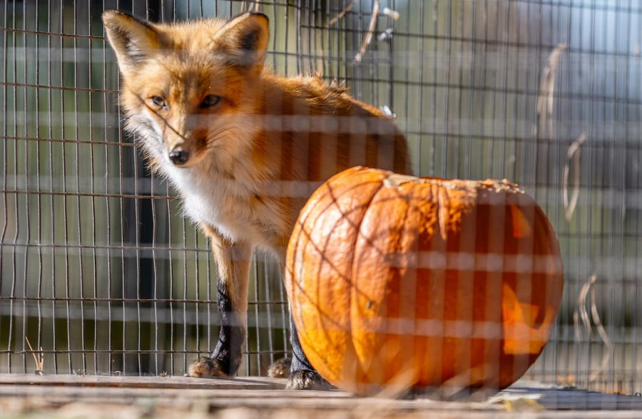 """Vixey, a red fox stands by a carved pumpkin at the Treehouse Wildlife Center's first-ever, Owl-A-Ween Saturday, Oct. 31, 2020, in Dow, Ill. """"They're under Carnivora [red foxes], so they are carnivores, but they can and will eat plant matter [pumpkins]. Their success rate of catching live prey in the wild isn't that high, so they have to sometimes supplement their diet with other things,"""
