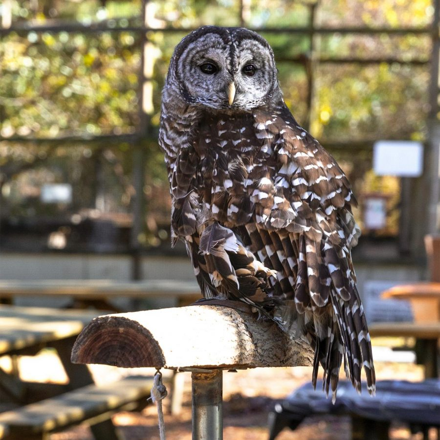 Chile, an educational barred owl, makes an appearance at one of the booths for people to learn more about owls at Treehouse Wildlife Center's first-ever, Owl-A-Ween Saturday, Oct. 31, 2020, in Dow, Ill.